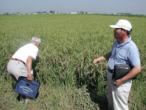 Photo: The late Dr. Jin Xueyong, Northeast Agricultural University, Haerbin, on field visit in Heilongjiong province, inspecting rice field grown with the 3-S methodology that he developed in the 1990s to raise rice productivity, very similar to SRI, under the cold climatic conditions of northern China. [Photo by Norman Uphoff]