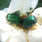 European rose chafer beetle