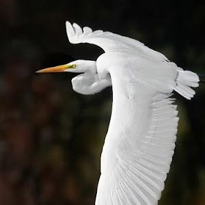 Egret-Fall-Flight-bp.jpg