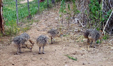 Photo: Baby ostriches at the Safari ostrich farm in Oudtshoorn (http://www.safariostrich.co.za/)