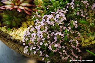 Photo: auch im kleinen Steingarten blüht es
