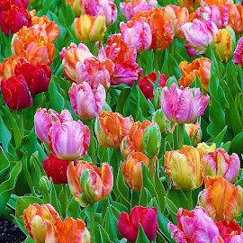 A rainbow of tulips by Mary Gallo - Flowers Flower Gardens ( flowers, rainbow of tulips, tulips, color, nature, nature up close, flower garden )
