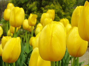 Photo: Groups of bright, yellow tulips at Wegerzyn Gardens in Dayton, Ohio.