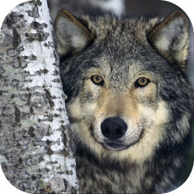 Gray Wolf. Wild Wallpapers