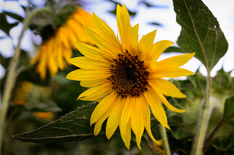 Photo: Sunflower Winters, CA. 2012.  Taken during an impromptu photowalk of Winters, CA. with my friend +Jeff Westbrook. Cool little town, if you stop by, check out the Putah Creek Cafe, and some of the other restaurants on that strip.  I guess if i'd planned my photo posts better i could have made this #floralfriday (+FloralFriday) curated by the lovely +Tamara Pruessner.  Another image that was processed in +onOne Softwareperfect suite 6. This time I started with a single exposure, and after initial color correction in Lightroom, applied several layers in Perfect Suite to texture, and darken the background, while making the sunflower pop.