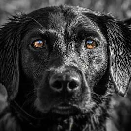 Lab Intensity by Joel Jones - Animals - Dogs Portraits ( labrador, puppy, selective color, puppy portrait, dog, black lab, eyes, dog portrait )