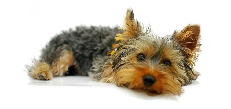Interesting facts about Yorkshire Terriers | Just Fun Facts