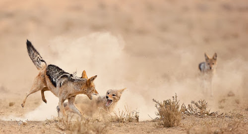 Take a Tumble by Bridgena Barnard - Animals Other Mammals ( jackal fights,  )