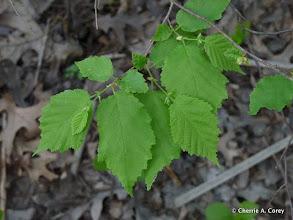 Photo: American hazelnut (Corylus americana)