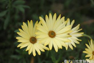 Photo: 拍攝地點: 梅峰-溫帶花卉區 拍攝植物: 銅錢花 拍攝日期: 2015_11_13_FY