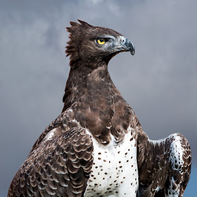 Stare down by Adriaan Vlok - Animals Birds ( eagle, clouds, eagle eye, birds )