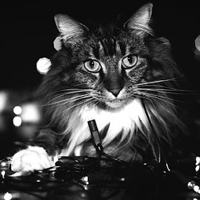 Angie by Leticia Cox - Animals - Cats Portraits ( lights, cats, animals, black and white )