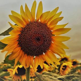 by Thomas Nicola - Flowers Single Flower