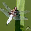 Broad-bodied Chaser / Darter