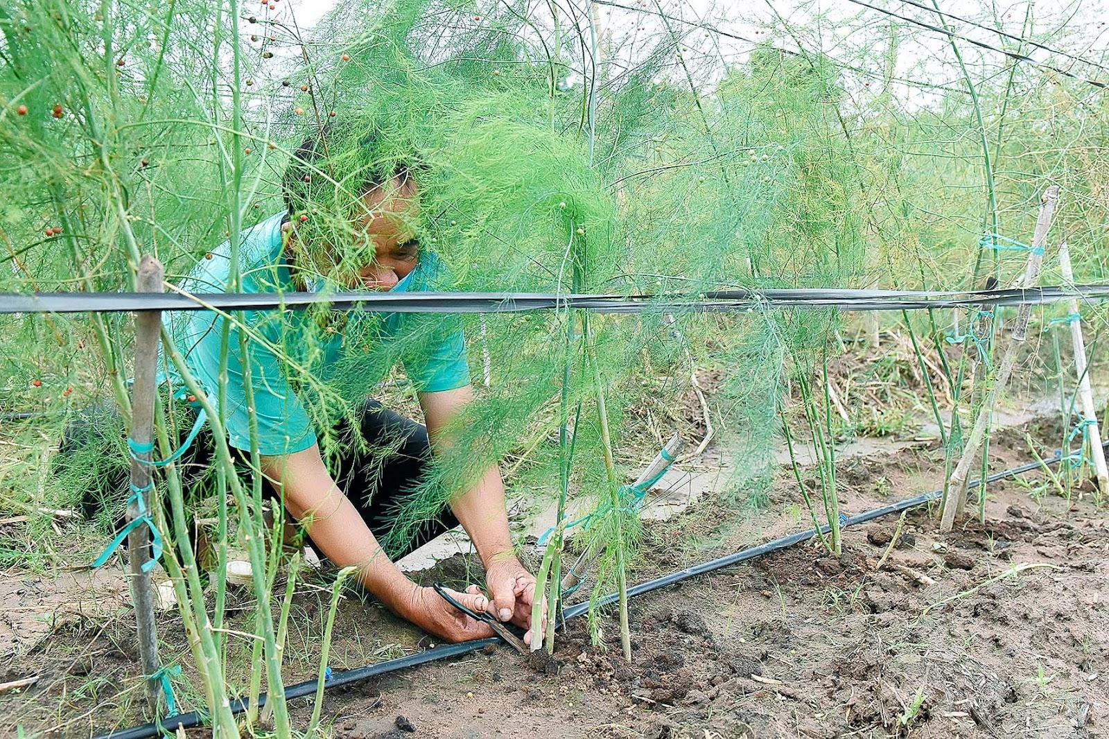 3.Ông Trần Văn Hay (thôn Tân Phong, xã Tân An) chia sẻ: Cuối năm 2020, ông tham gia mô hình, trồng thử nghiệm ½ sào măng tây, đến nay đã cho thu hoạch. Dù giá thu mua thấp hơn do ảnh hưởng của dịch Covid-19 nhưng cây măng tây vẫn cho thu nhập cao hơn các loại rau khác.