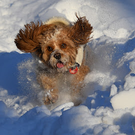 by Steven Liffmann - Animals - Dogs Playing (  )