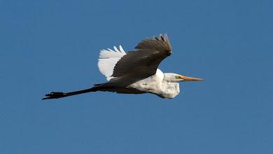 Photo: Eastern Great Egret in flight