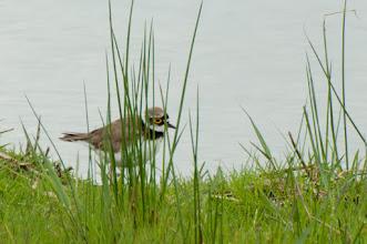 Photo: Ringed Plover (Sandregenpfeifer); Wedel, DE