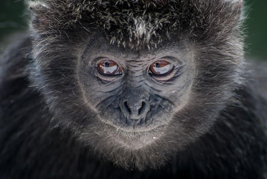 by Theo Shilton  - Animals Other Mammals ( , animal, monkey )