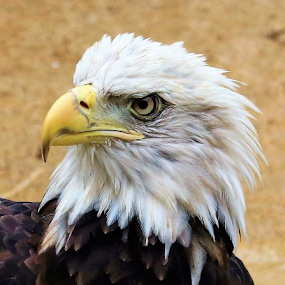 A Eagle Look by Paul S. DeGarmo - Animals Birds ( look, eagle, shot, birds, close,  )