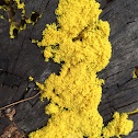 Yellow Slim Mold