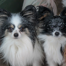 Snowy day by Shana Snow - Animals - Dogs Portraits (  )