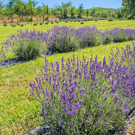 Lavender Farm in Bloom by Judy Florio - Landscapes Prairies, Meadows & Fields ( blooming, field, grass, farm, lavender, landscape )