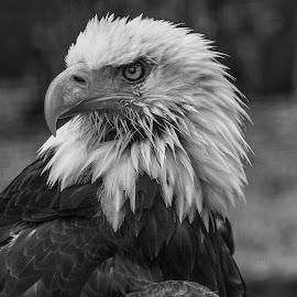 Eagle by Garry Chisholm - Black & White Animals ( raptor, bird of prey, nature, bald eagle, garry chisholm )