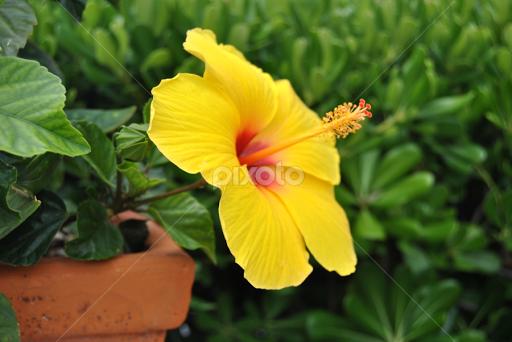 Yellow Hibiscus Flowers Flower Gardens Flowers Pixoto