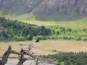 Photo: Condor in flight