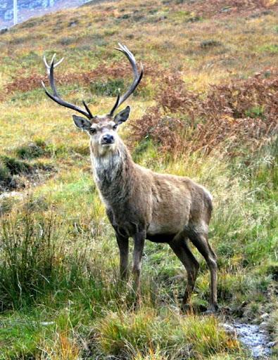 Stag Deer Wallpapers HD FREE