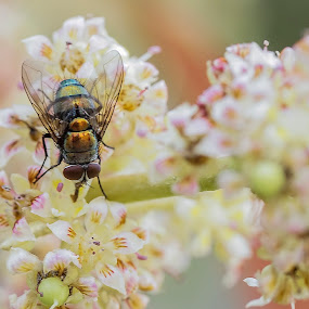 Fly by Daniel Kong - Animals Insects & Spiders ( macro photography, fly, bug, garden, flower )