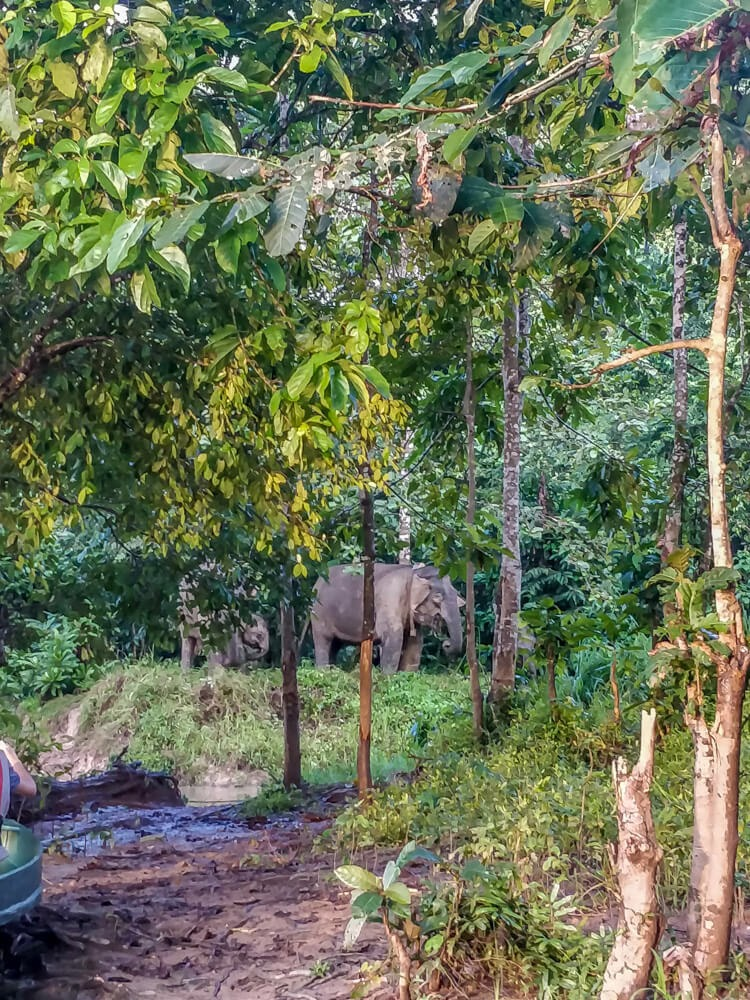 pigmy+elephant+kinabatangan+river+sukau+village+sabah+malaysia
