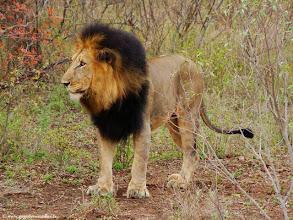 Photo: AFRIQUE DU SUD-Lion dans la réserve privée de Makalali près du Parc Kruger.