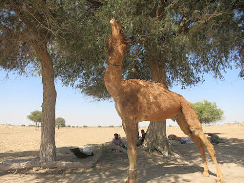 India. Rajasthan Thar Desert Camel Trek. Wandering around searching for the best branches