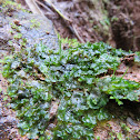 Smooth hornwort