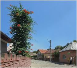 Photo: Trâmbiță, Luleaua turcului (Campsis radicans) - din Turda, de pe Str. Aurel Vlaicu - 2018.06.20