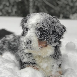 by Barbara Brock - Animals - Dogs Playing ( winter and pets, dog and snow, snow, frost, winter, cold, dog, bernese, pet )