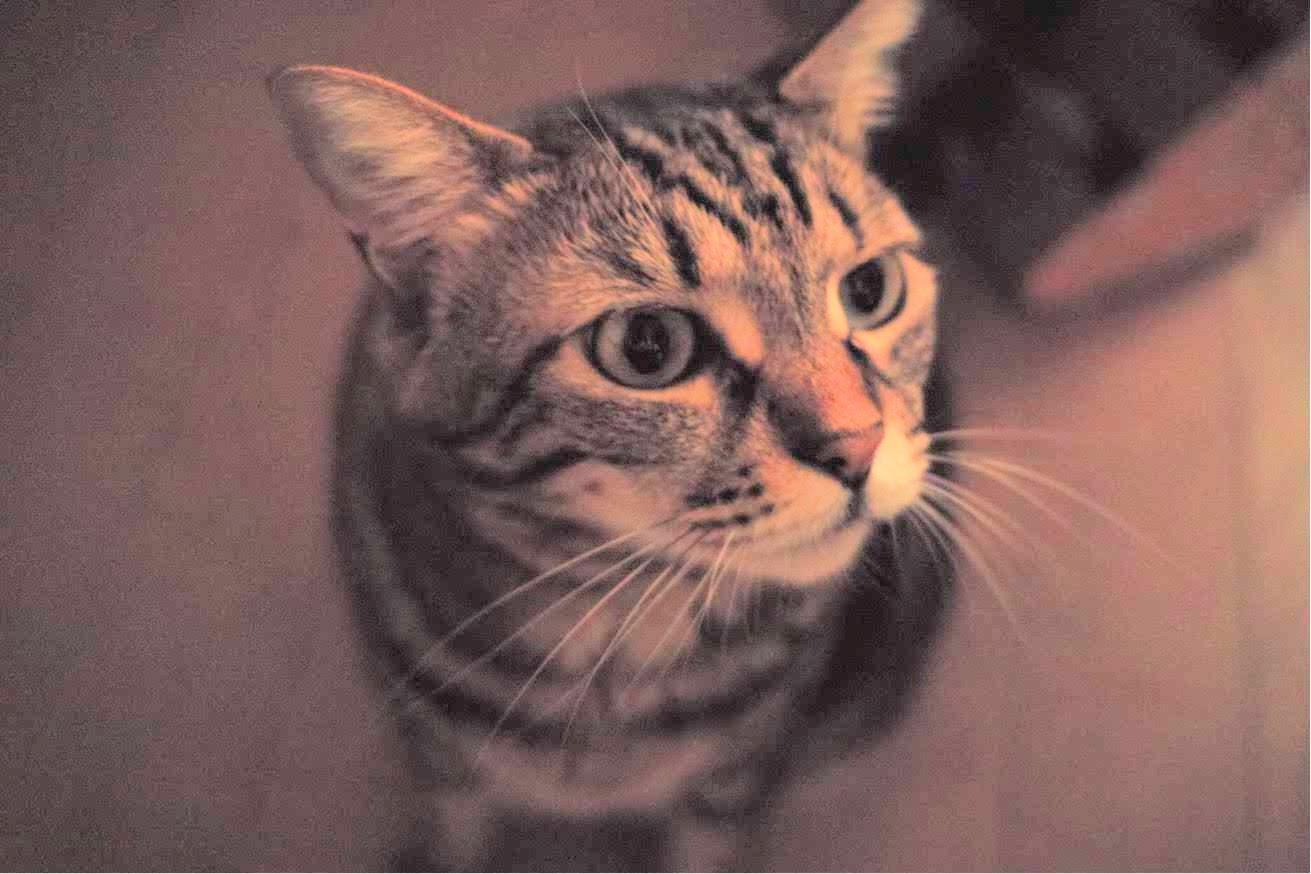 猫、チー、ノスタルジック、白黒写真、DP2