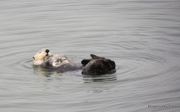 Photo: (Year 3) Day 20 - Otter Floating #6
