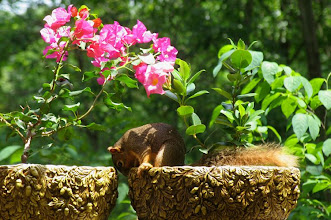Photo: Fox squirrel checking out a potted plant
