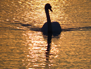 Photo: Priorslee Lake I've probably done this before but cob Swan on patrol at dawn. (Ed Wilson)