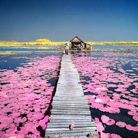 Lotus Pink by Bob Shahrul - Landscapes Prairies, Meadows & Fields ( infrared, cambodia )