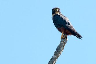Photo: Bat Falcon (Fledermausfalke); Kuhunlich, QROO