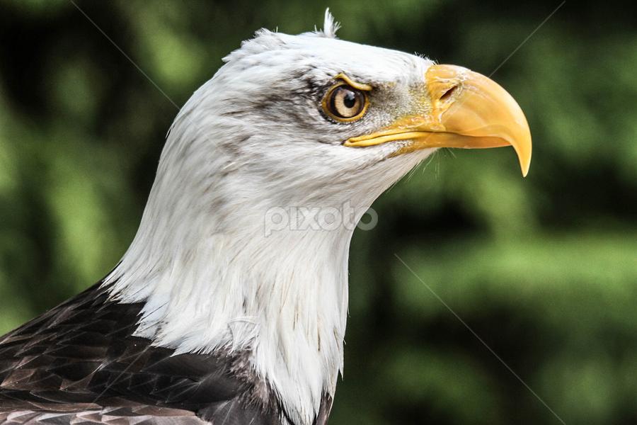 Danebury by Garry Chisholm - Animals Birds ( bird, garry chisholm, eagle, nature, wildlife, prey, raptor, bald )