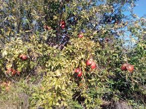 Photo: Flora (guarets): Magrana (Punica granatum).