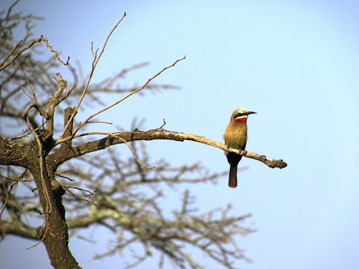 A white-fronted bee eater in Mlilwane Wildlife Sanctuary.