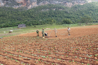 Photo: Replanting the tobacco