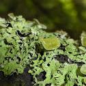 Pitted Lichen