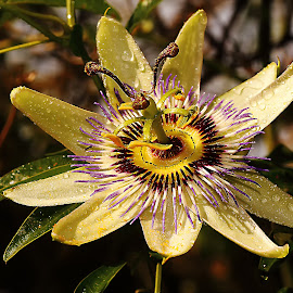 Passionata jaune by Gérard CHATENET - Flowers Single Flower